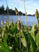 Plantago lanceolata-4.jpg
