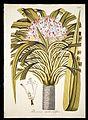 Plantarum rariorum horti caesarei Schoenbrunnensis descriptiones et icones (T. 95) BHL271984.jpg