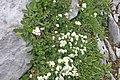 Plants am Rufikopf 31.JPG