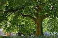 Platanus acerifolia im Mitte.jpg