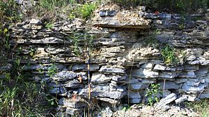 Platteville Limestone - Platteville Limestone (Upper Ordovician) exposed in Decorah, Iowa.