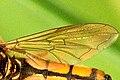 Platycheirus.fulviventris9.-.lindsey.jpg