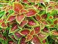 Plectranthus scutellarioides.jpg