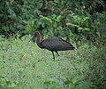 Plegadis falcinellus Ibis Pico-de-hoz Glossy Ibis (16916175451).jpg