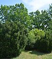 Plodove Novokahovka's Arboretum 54 (YDS 1190).jpg