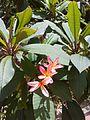 Plumeria rubra Linnaeus La Tahona 2013 000.JPG