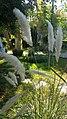 Poales - Cortaderia selloana - 2.jpg