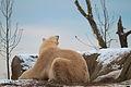 Polar bear Eric (4197696623) (2).jpg