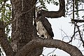 Polemaetus bellicosus (45250122264).jpg