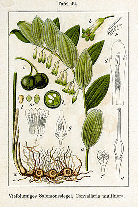 Polygonatum multiflorum Sturm42.jpg