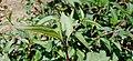 Polygonum chinense (মধুসোলেং).jpg