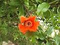 Pomegranate flower 05.jpg