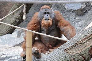 Sumatran orangutan - Male at Tierpark Hagenbeck, Hamburg