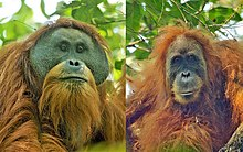 Head and shoulder shots of an adult male and female orangutan