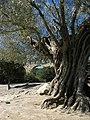 Pont du Gard, Olive Ancienne 2 - panoramio.jpg