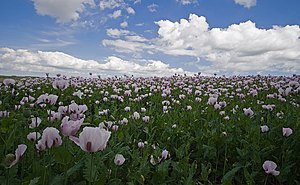 English: Poppy (Papaver somniferum) field in N...