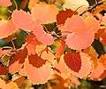 Populus tremula Осина осенью Листья красные.jpg