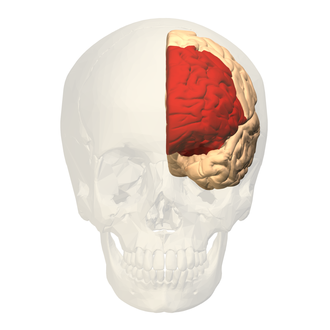 Prefrontal cortex - Image: Prefrontal cortex (left) anterior view