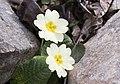 Primula acaulis subsp. acaulis (Çuha çiçeği) 01.jpg