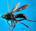 Priocnemis monachus.png