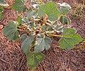 Proboscidea parviflora whole plant.jpg