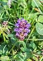 Prunella vulgaris in Aveyron (1).jpg