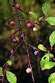 Prunus umbellata UGA1120568.jpg