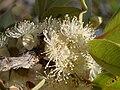 Psidium salutare var pohlianum (5006067861).jpg