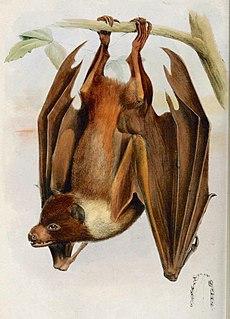 <i>Pteropus pelagicus</i> species of mammal
