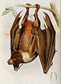 Pteropus pelagicus.jpg