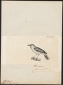 Pterothius aenobarbus - 1700-1880 - Print - Iconographia Zoologica - Special Collections University of Amsterdam - UBA01 IZ16500009.tif