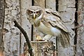 Pulsatrix perspicillata - Weltvogelpark Walsrode 2010-2.jpg