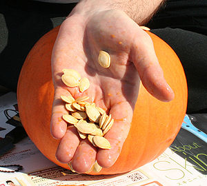 Pumpkin seed - Pumpkin seeds just scooped from the fruit