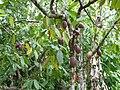 Punta Cana Theobroma cacao tree 2.jpg