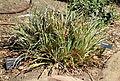 Puya alpestris - Leaning Pine Arboretum - DSC05590.JPG