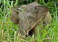 Pygmy Elephant (Elephas maximus borneensis) (8066921025).jpg