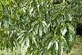 Quercus acutissima 02.jpg