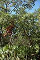 Quercus chapmanii (23531609243).jpg