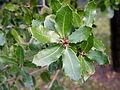 Quercus coccifera (9).JPG