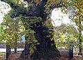 Quercus robur JPG (a).jpg