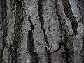 Quercus serrata 02.jpg