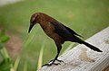 Quiscalus major -Naples Zoo, Florida, USA -female-8.jpg