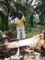 Récolte du vin de palme (Cameroun) (8).jpg