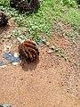 Régime de noix de palme au CRA PP Pobé.jpg