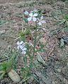 Radish Flower.jpg