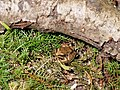 Rana arvalis in the Teufelsbruch swamp 06.jpg