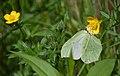 Ranuncoli e farfalle (14080144521).jpg