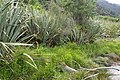 Ranunculus flammula kz01.jpg
