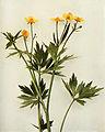 Ranunculus hispidus var. caricetorum WFNY-070.jpg