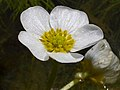Ranunculus peltatus FlowersCloseup 2010March29 DehesaBoyaldePuertollano.jpg